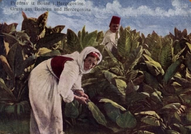 Picking tobacco in Bosnia